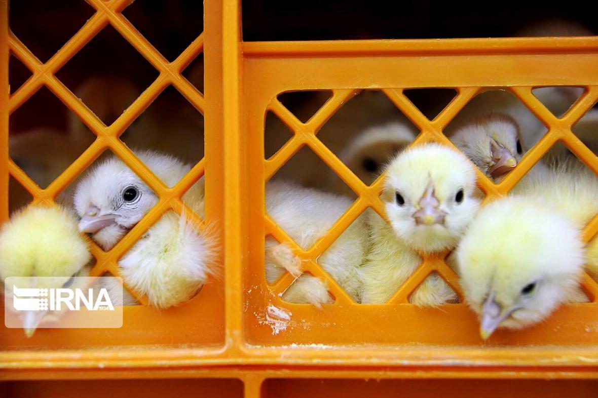 خبرنگاران معدوم سازی جوجه های یک روزه به جای کاهش فراوری تخم مرغ نطفه دار